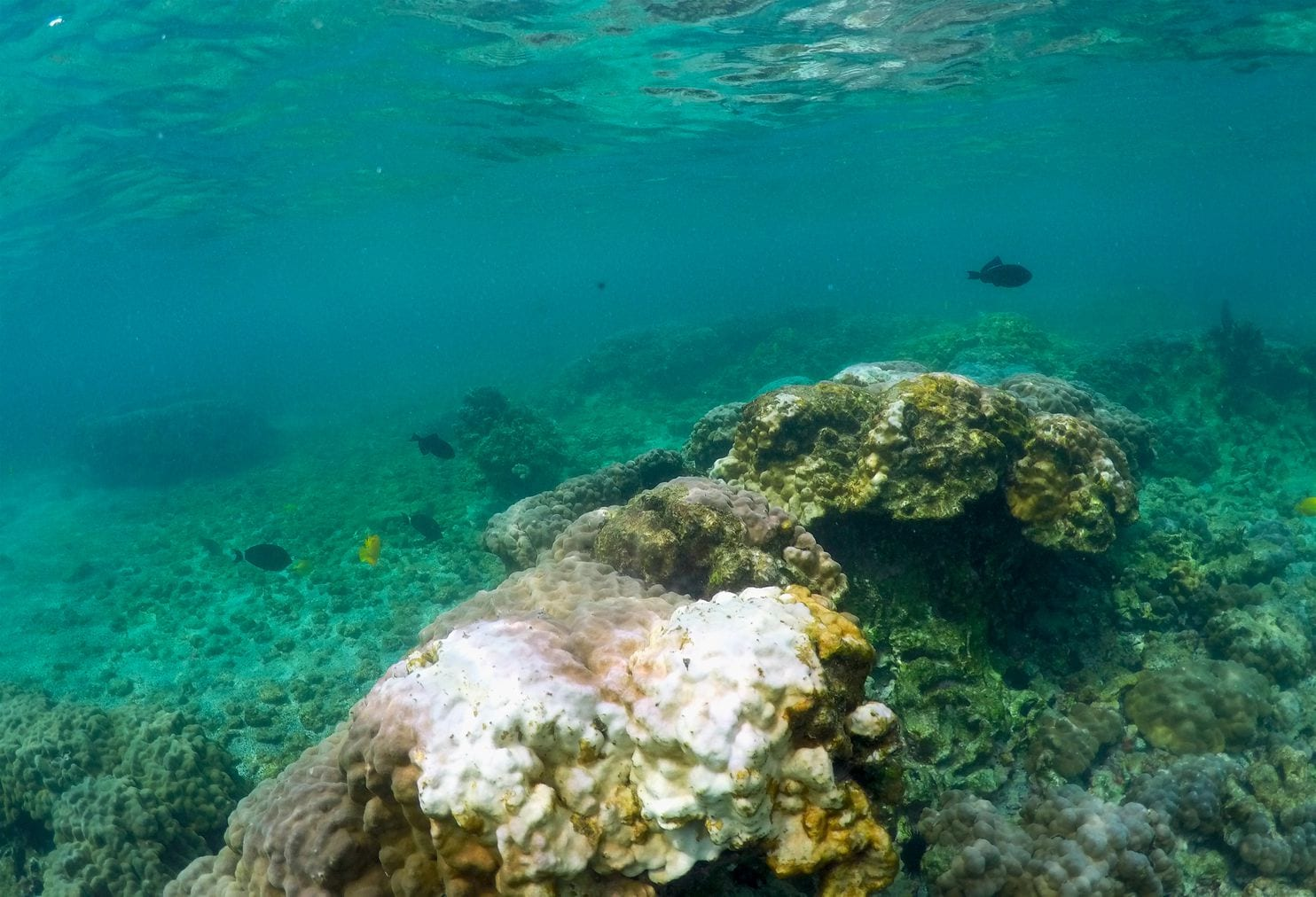 Hawaii coral show signs of stress amid record-setting heat