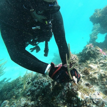 New study uses satellites and field studies to improve coral reef restoration