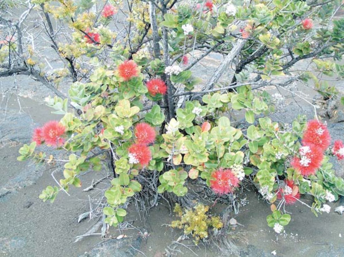 Research guides efforts to protect ohia forests in Hawaii