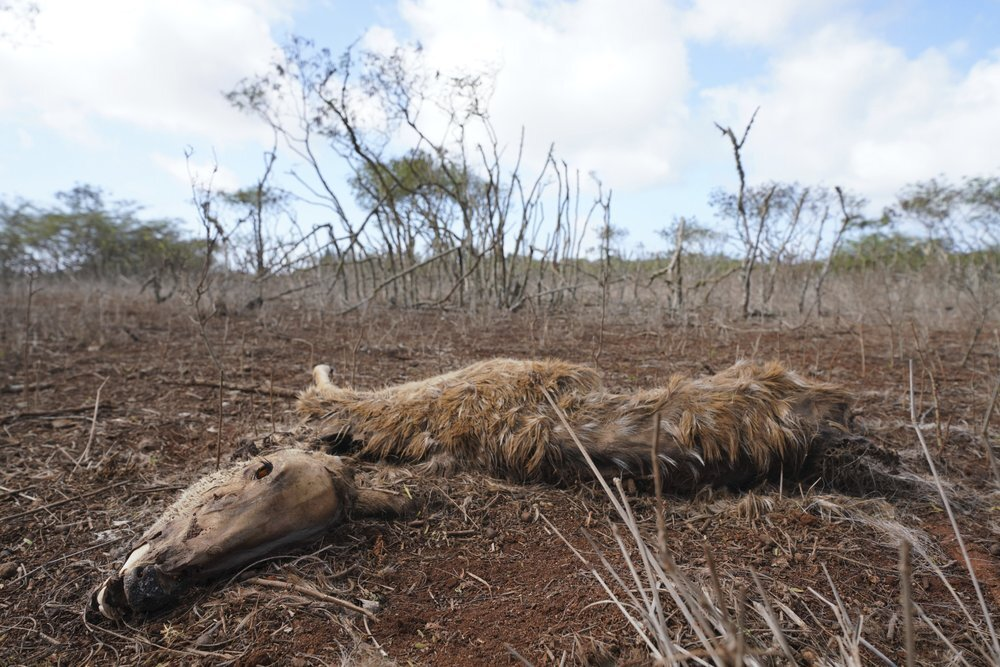 Deer native to India starve to death amid drought in Hawaii